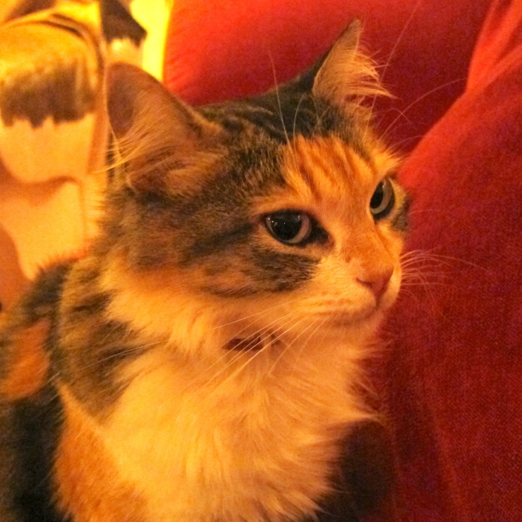 House cat, Quinta Da Cebola Vermelha