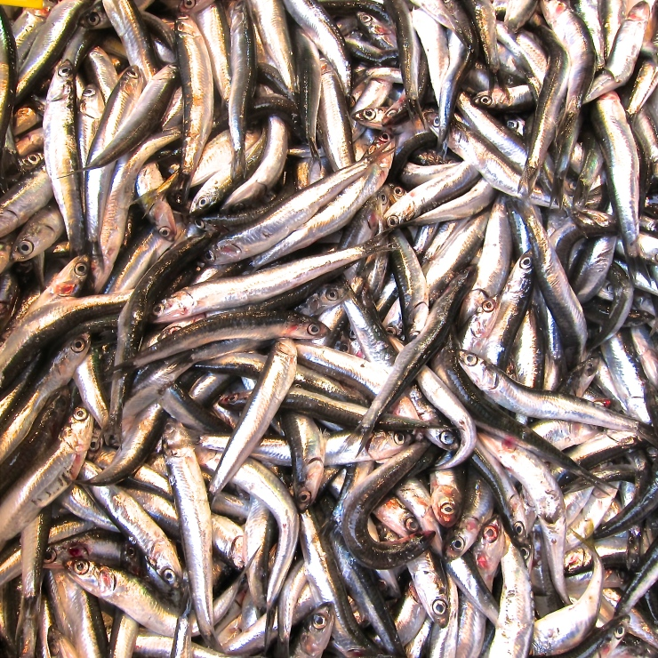 Anchovies, Istanbul